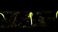 Stock Video Footage of Water Melons sprouting (timelapse)