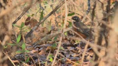 Red breasted robin in underbrush Stock Footage