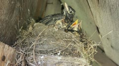 Young birds chicks in nest being fed by mother Stock Footage