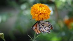 Monarch butterfly with broken wing Stock Footage