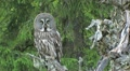 Great Grey Owl HD Footage
