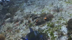 Queen triggerfish eating lionfish Stock Footage