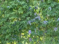Wall formed of long leaves blooming climbing plant. Stock Footage