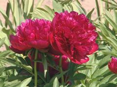 Red peony flower bush closeup. Seasonal flower beauty. Stock Footage