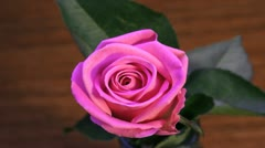 pink rose fading - stock footage