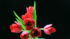 Red tulips blooming time laps Stock Footage