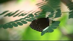 Butterfly_LDA N 00587 Stock Footage