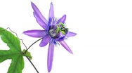 Timelapse of passion flower on white, slow Stock Footage