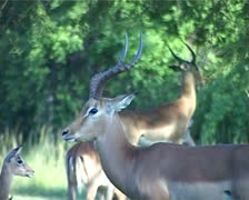 Impala Ram and other Impalas Grazing Behind GFSD Stock Footage