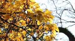 Close Up of Yellow Leaves in Autumn Stock Footage