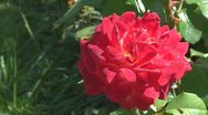 Stock Video Footage of Beautiful red rose
