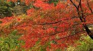 Beautiful autumn tree. Stock Footage
