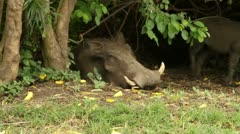 Warthogs with Baby Stock Footage