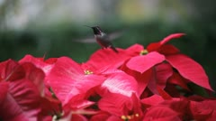 Hummingbird in red poinsettias Stock Footage