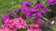 Stock Video Footage of Beautiful pink flower