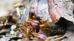 A bat corpse is devoured by flying wasps in Ecuadorian Amazonia Stock Footage