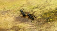 Three ants gathered to a council Stock Footage