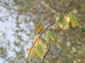 Stock Video Footage of Birch branch with colorful leaves in autumn moving in the wind.