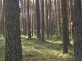 Stock Video Footage of Coniferous forest mossy ground and tree trunks on sunny day.