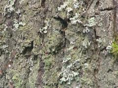 Climbing on birch tree trunk. Bark closeup. Stock Footage