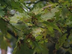 Oak branch moving in the wind. Natural forest detail. Stock Footage