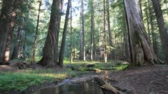 Cedar tree forest dolly river Stock Footage
