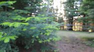 Stock Video Footage of Pine tree coming into focus