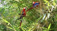 Stock Video Footage of Pair of ara maco parrots in Ecuadorian Amazonia, shot in the wild