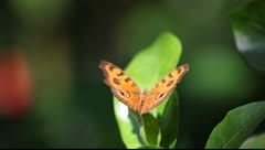 Amber butterfly Stock Footage