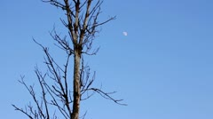 Lonely dried tree and moon Stock Footage