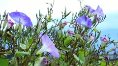 Morning glory flowers with mountains in the background. Stock Footage