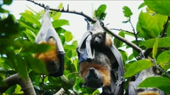 Fruit bats Stock Footage