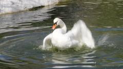 Beautiful Mute Swan, Cygnus olor Stock Footage