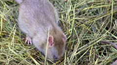 Feeding Rat (close up) Stock Footage