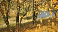 Stock Video Footage of Golden autumn. Branches with yellow leaves