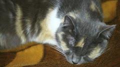 Sleepy fat calico cat Stock Footage