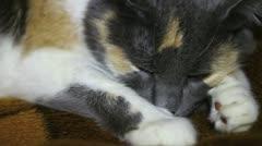 Sleepy calico cat glances on camera Stock Footage