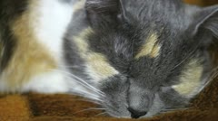 Stock Video Footage of Calico cat sleeps (close up)