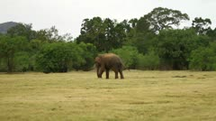 Wild Elephant Wanders in Safari Land Stock Footage