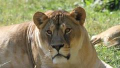 Young Lion face close up, Panthera leo Stock Footage