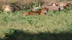 Jaguar, Panthera onca - stock footage