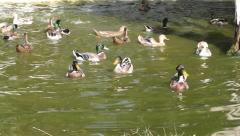 Crazy Ducks Stock Footage