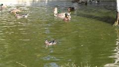 Ducks in water Stock Footage