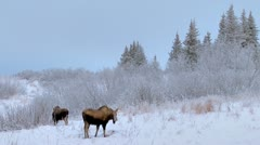 Moose Munching in Morning Snowy Forest Stock Footage
