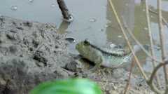 Mudskipper Stock Footage