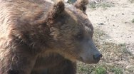 Stock Video Footage of Cute Brown Bear