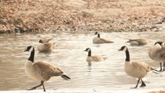 Geese plaing by the water 8 Stock Footage