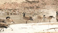 Geese plaing by the water 9 Stock Footage