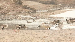 Geese plaing by the water 12 Stock Footage