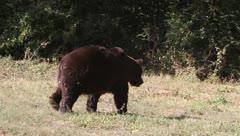Brown Bear leaving, Ursus arctos Stock Footage